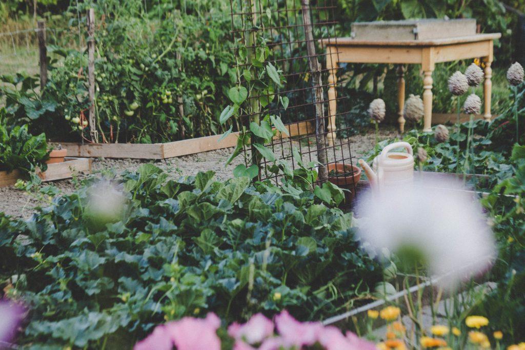Potager bien entretenu avec légumes au mois de juin